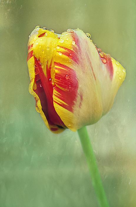 Tulip_Multi