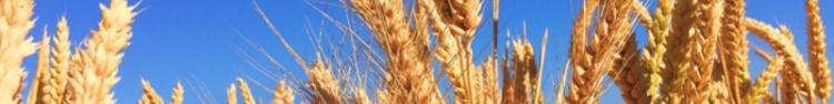 wheat_banner