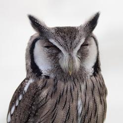 owl_closed_eyes