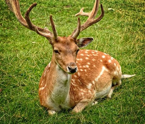 sitting_deer