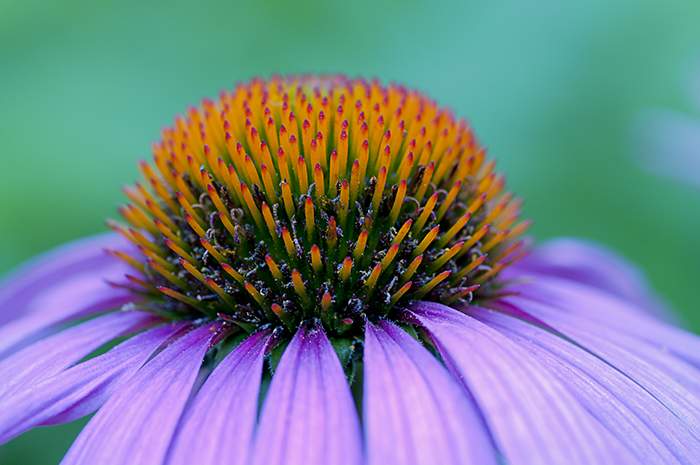 Cone_flower