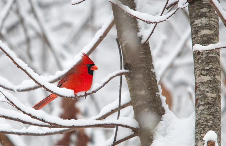 _DSC3231_Cardinal