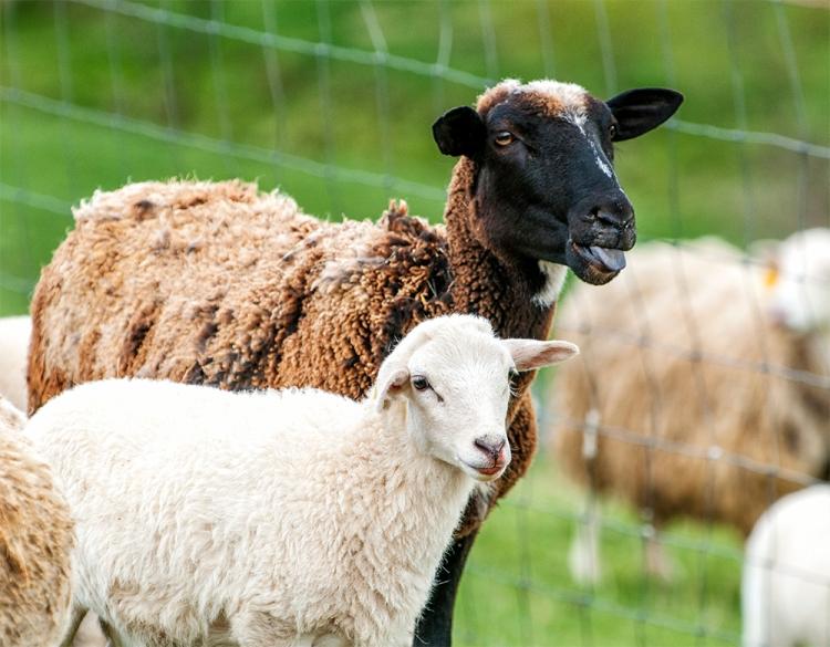 _DSC5430_Sheep